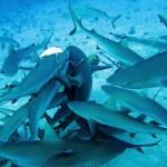 frenzy_sharks